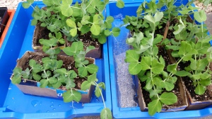 Picture of healthy looking pea seedlings